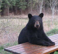 Black bear at the picnic table